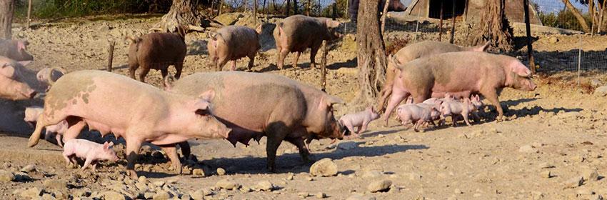 Benessere animale allevamenti cozac